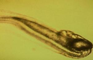 glasaal-larven